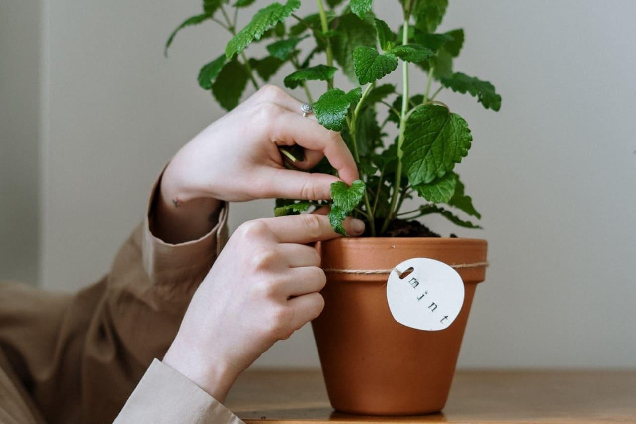 防疫聖品—紫蘇薄荷茶配圖